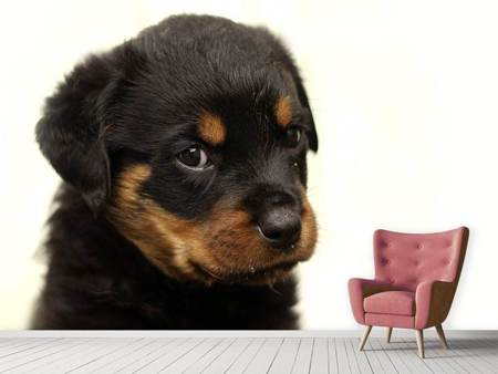 Photo Wallpaper Rottweiler puppy to fall in love