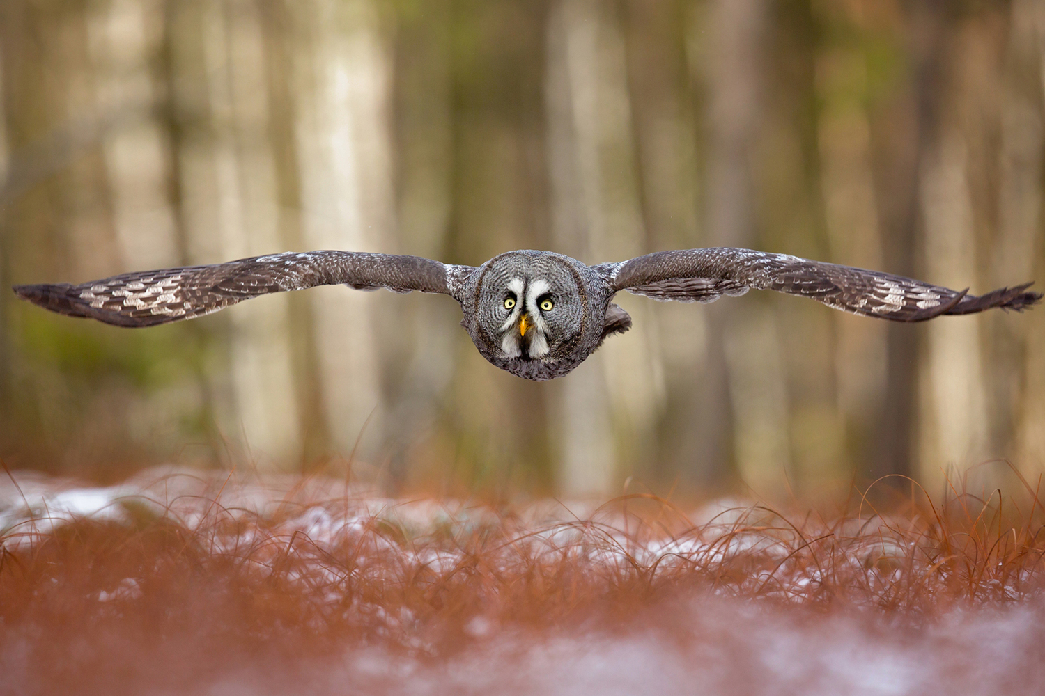 Fotomurale Great Grey Owl