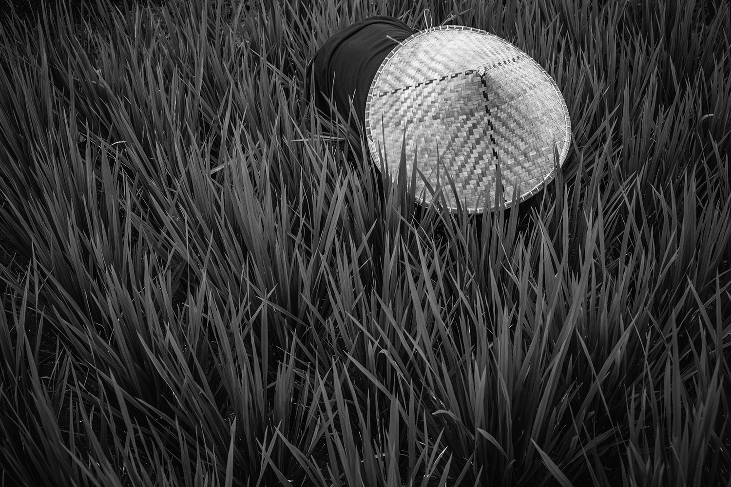 Papier peint photo Rice Fields In Bw